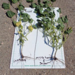 Beans treated with and without Microhance and Agri-Sweet