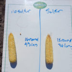 Corn treated with and without Sulfur 15