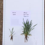 Photo shows Monty's Liquid Carbon applied 1/2 gallon to the acre on wheat.