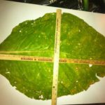 "This tobacco leaf, pulled from a field in Kentucky, measured 20"" wide and 33"" long, with 26 to 30 leaves per stalk. Two gallons of Monty's Tobacco Blend was applied."