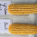 paul-Miles-corn-photo